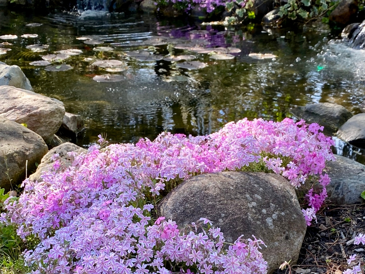 Purple phlox in bloom is next to a water pond with 2 waterfalls.